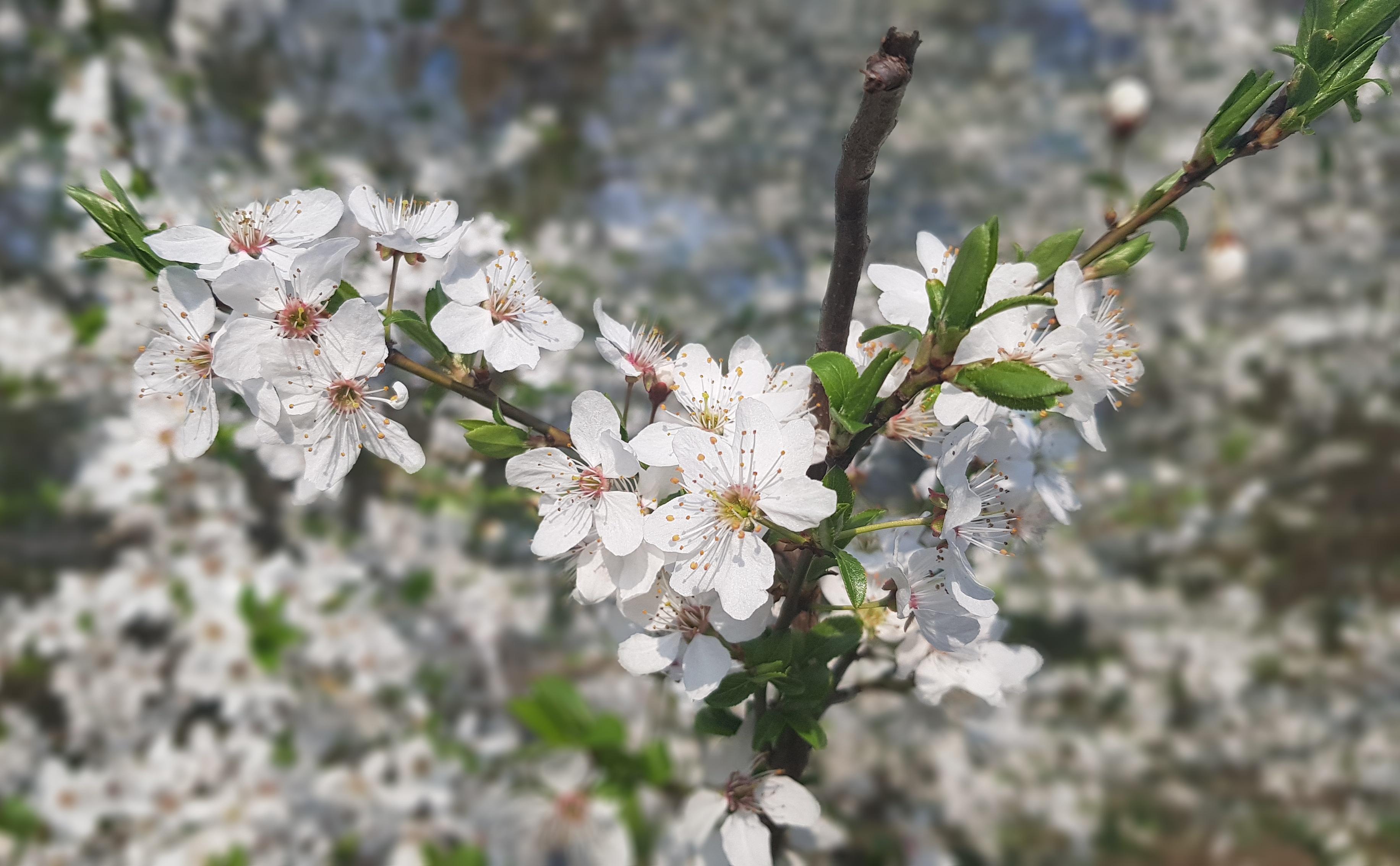 Kwitnące drzewa w Wiśle